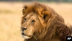 The African Lion is of one of the worlds greatest predators and is now considered an endangered species