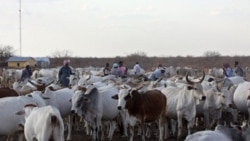 Cattle in Dertu, Kenya