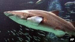 Un tiburón en el acuario Two Oceans de Cape Town, Sudáfrica. Un acuerdo ha protegido proteger algunas de las especies de escualos.