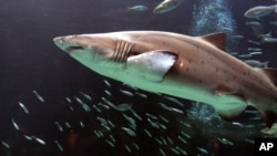 A shark swims at the Two Oceans Aquarium in Cape Town, South Africa.