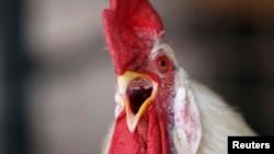 北京农场里的一只肉用鸡
