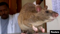 FILE - An African Giant Pouch rat is seen before a training session where the rats will learn to detect tuberculosis (TB) at a laboratory in Sokoine University for Agriculture in Morogoro, Tanzania, Jan. 31, 2006.