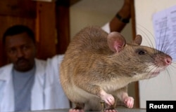 An African Giant Pouch rat is seen before a training session where the rats will learn to detect tuberculosis (TB) at a university laboratory in Tanzania, 2006.