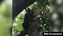 ریچھ نے لوگوں کی نظروں سے بچنے کے لیے خود کو درخت کے پتوں میں چھپا رکھا ہے۔ 6 ستمبر 2018 ۔ اوٹاوا