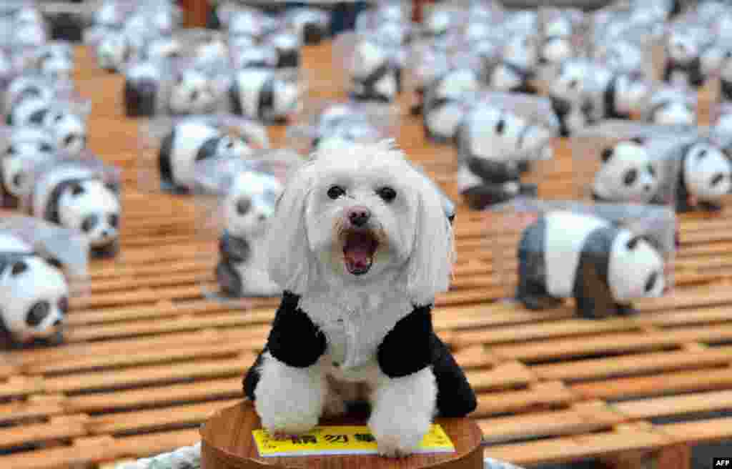 """A dog dressed up in a panda outfit takes part in an exhibition called """"Pandas on Tour"""" in front of the Taipei City Hall on March 2, 2014."""