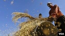 Di kawasan Asia-Pasifik meskipun kenaikan produksi beras dan gandum mendorong penurunan harga, FAO mengatakan harga pangan di Asia tetap tinggi.