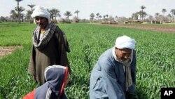 The Nile has allowed agriculture to flourish for millenia, but a farmer's life remains hard, near Kafr Torky, February 13, 2011