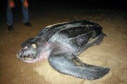 Tartarugas marinhas têm novos aliados em São Tomé