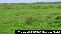Rabbit hopping - Ireland