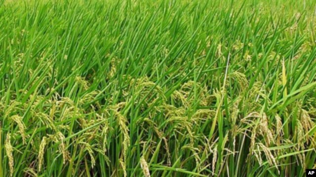 When rainfall is plentiful, rice grows into lush plants above the shallow water in which it's planted.