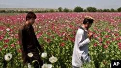کشت مواد مخدر در افغانستان ۱۹ درصد و تولید آن ۴۸ درصد کاهش یافته است.
