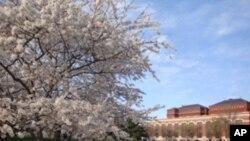 جشنوارۀ شگوفه های گیلاس در واشنگتن