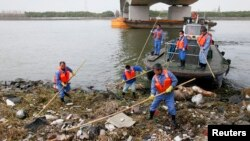 清理人員星期天在上海黃浦江的一個支流打撈死豬