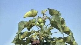 Cây dầu mè (Jatropha curcaẮ