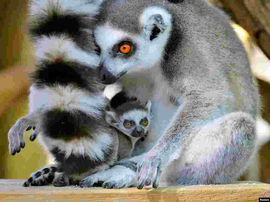 អំបូរសត្វ Lemur ដែលបានកើតកាលពីថ្ងៃទី១៨ ខែមីនា កំពុងនៅជាមួយមេរបស់វា នៅក្នុងសួនសត្វSchoenbrunn ក្នុងទីក្រុងវីយែន ប្រទេសអូទ្រីស។