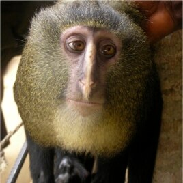A new species of monkey found in the Democratic Republic of the Congo and identified as Lesula (Cercopithecus lomamiensis) is seen in this undated photograph from an article published September 12, 2012, in the science journal PLOS One.
