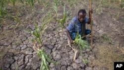 Seorang petani menunjukkan panennya gagal akibat kekeringan yang melanda kawasan Megenta, di Afar, Ethiopia (foto: ilustrasi).