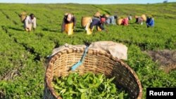 File - Workers pick tea leaves at a plantation in Nandi Hills, in Kenya's highlands region west of capital Nairobi.