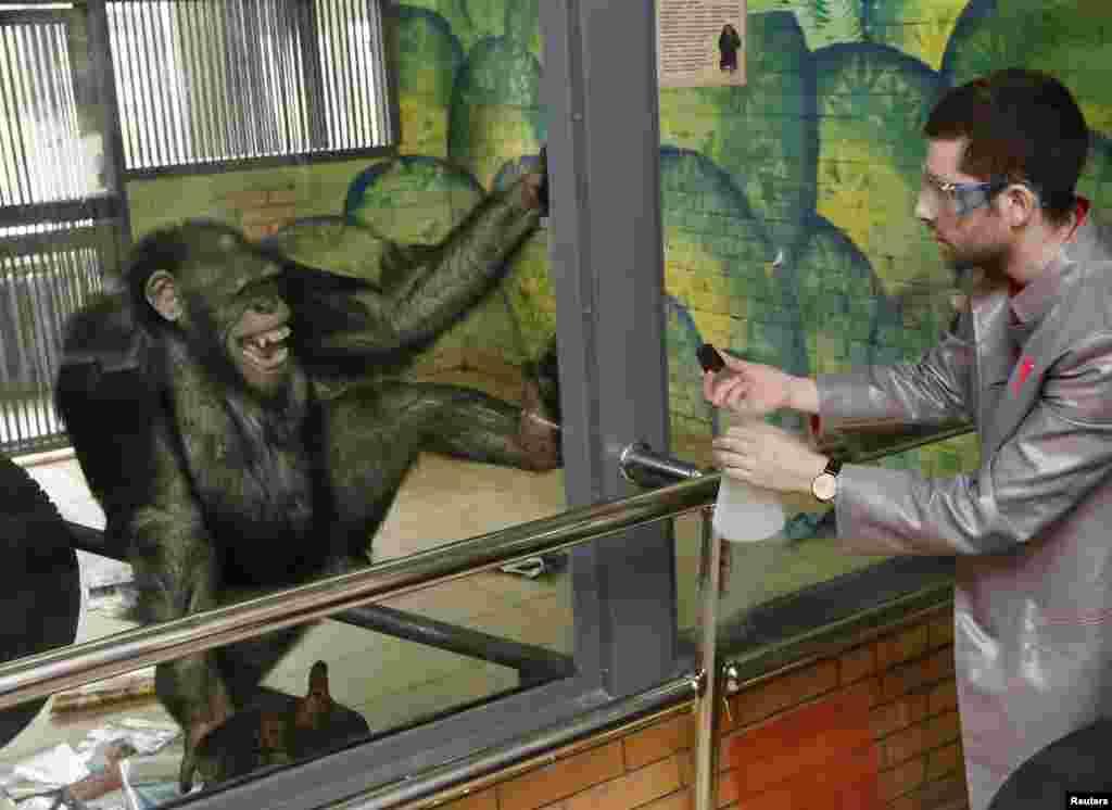 សត្វស្វា Chimpanzee ឈ្មោះ Anfisa អាយុ១១ឆ្នាំ បញ្ចេញប្រតិកម្មនៅស្របពេលវាមើលការសម្តែងរបស់លោក Yaroslav Osipov ដែលជាបុគ្គលិកនៃសារមន្ទីរវិទ្យាសាស្រ្ត «Newton Park»។ លោក Yaroslav បានបង្ហាញពីឥទ្ធិពលនៃនីត្រូសែនរាវនៅអំឡុងពេលថតឈុតកំប្លែងសម្រាប់បុស្តិ៍ទូរទស្សន៍ក្នុងស្រុកមួយមុនថ្ងៃ April Fools' Day នៅឯសួនសត្វមួយនៅក្រុង Krasnoyarsk តំបន់ស៊ីប៊េរី ប្រទេសរុស្ស៊ី។