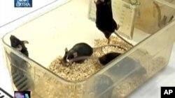 Tikus dewasa yang dipelihara dalam lingkungan bebas kuman, ternyata lebih rentan terhadap alergi, asma, dan kelainan atas sistem kekebalan tubuh lainnya (foto: dok).
