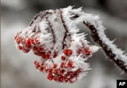 Wind-blown frost clings to berries following a snowstorm on Little Jackson Mountain, near Weld, Maine, Dec. 4, 2015.