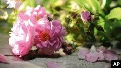 تولیدات گل گلاب افغانی در بازار های جهانی راه پیدا کرده است