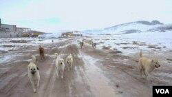 Kûçikên kolanan li herêma Tuşba ya Wanê