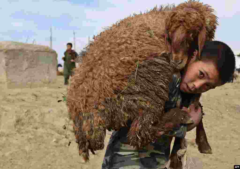 An Afghan boy carries a sheep on his shoulder at a livestock market ahead of the Eid al-Adha festival in Kabul.