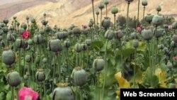 افغان صوبے ہلمند میں پوست کا ایک کھیت(فائل)