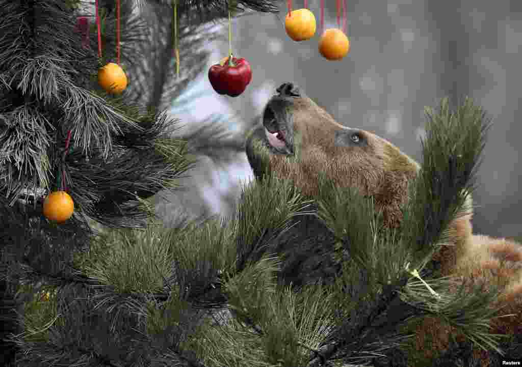 Kamchatka Brown Bear Mascha stands beside a Christmas tree, decorated with fruits and fish, at Hagenbecks zoo in Hamburg, northern Germany.