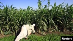 A Sudanese farmer works on his corn farm on the banks of the river Nile in Khartoum (file photo).