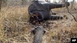 Gajah-gajah di Afrika dibantai oleh para pemburu liar untuk diambil gadingnya (foto: dok).