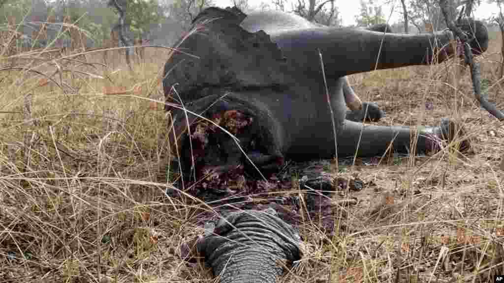Un éléphant tué par des braconniers au Cameroun.