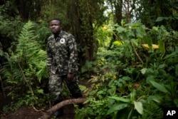 In this Sept. 2, 2019 photo, biologist Jean Paul Hirwa walks down a trail to observe mountain gorillas in the Volcanoes National Park, Rwanda. (Felipe Dana /AP)