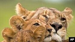 امریکہ میں نایاب افریقی شیروں پر فلم کی نمائش