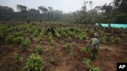 Soldados arrancan arbustos de coca una operación de erradicación manual en San José del Guaviare, Colombia, el viernes 22 de marzo de 2019. Colombia anunció el jueves 15 de agosto la captura de uno de los líderes de la más importante agrupación de narcotráfico del país.