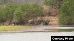 坦桑尼亞塞羅斯野生動物保護區內的象群。(Wikimedia)
