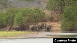 坦桑尼亚塞罗斯野生动物保护区内的象群。(Wikimedia)