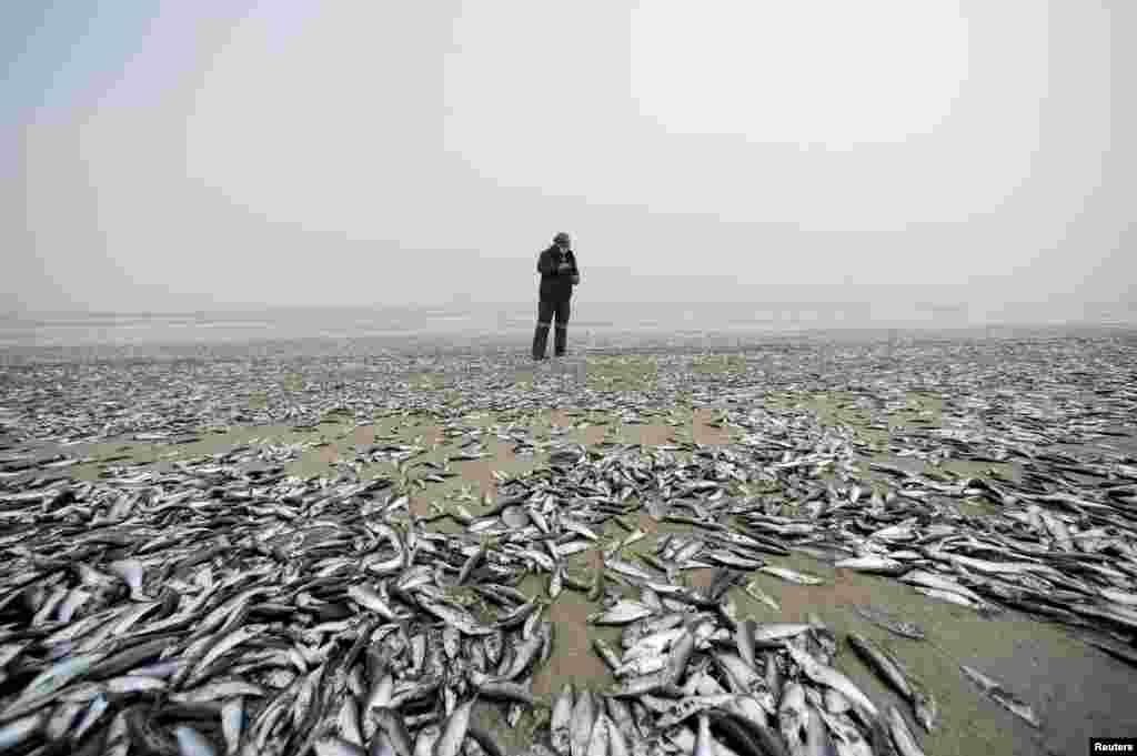 انبوه ماهیهای مرده در یکی از سواحل چیلی