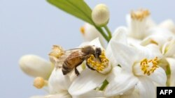 A bee gathers honey from an orange blossom in the Israeli Mediterranean coastal city of Netanya on March 13, 2016.
