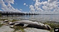 A dead Snook is shown along the water's edge in Bradenton Beach, Florida, Aug. 6, 2018.
