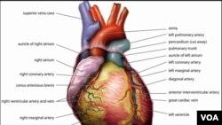 Anatomi jantung manusia (foto: Wikipedia). Tim ilmuwan AS berhasil menumbuhkan kembali otot jantung untuk mengganti jaringan yang mati akibat serangan jantung.