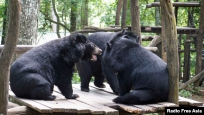 laos fights to protect endangered asiatic black bears