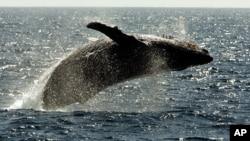 A humpback whale leaps out of the water near Lahaina on the island of Maui in Hawaii.