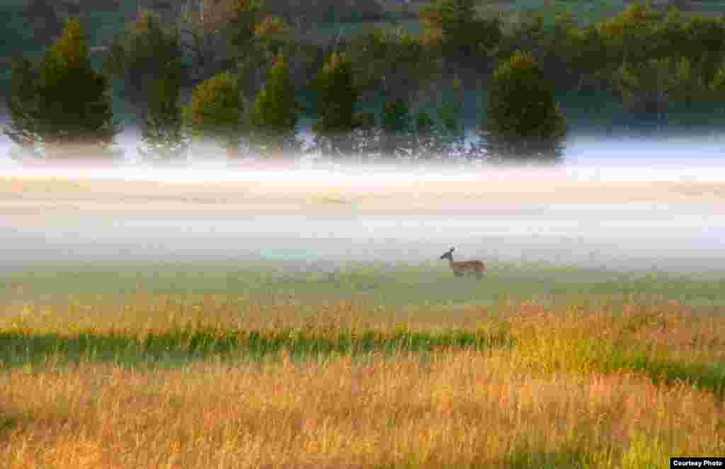 Lone deer in the morning mist of Fish Creek Park in Calgary, Alberta, Canada (Photo by Robert Tanner/Canada/VOA reader)