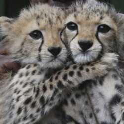 Two baby cheetahs at the Nairobi Orphanage, part of Kenya's Wildlife Service