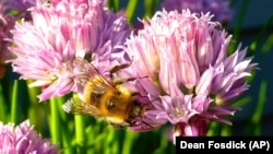 This May 20, 2015 photo shows Containerized chive blossoms in a yard near Langley, Washington, which attract a variety of bee species.