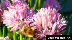 This May 20, 2015 photo shows Containerized chive blossoms in a yard near Langley, Washington, which attract a variety of bee species. (Dean Fosdick via AP)