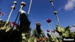 FILE - A man harvests opium as he works in an opium field outside Loikaw, Kayah state, Myanmar, Nov. 30, 2016.