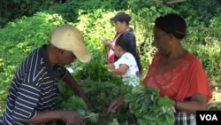 Refugee farmers gather vegetables that they have grown. (VOA)